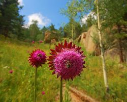 Musk Thistle Digger by greenunderground