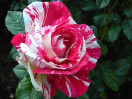 peppermint candy rose by hiddencreekjane