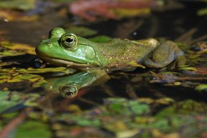 A beautiful Bullfrog by masscreation