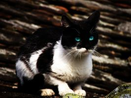 Cat with blue eyes by crissandy