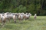 Sheep Flock by CD-STOCK by CD-STOCK