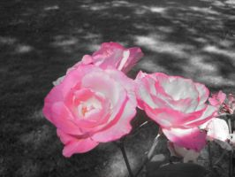 Pink Roses in Black and White by Shallarinath
