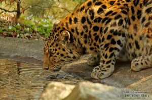 The Amur Leopard I by SaraJArts