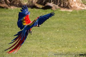 Inka and George the Scarlet Macaws by linneaphoto