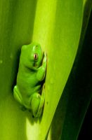 Green Tree Frog 2 -with filter by Chezza932
