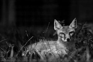 Black and White Week #6: Corsac Fox by robbobert
