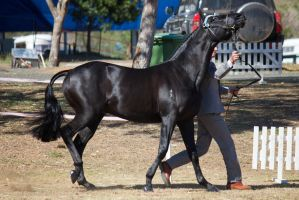 STOCK - 2014 TotR Arabians-51 by fillyrox