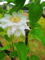 Artic Queen Clematis on Trellis by Sing-Down-The-Moon