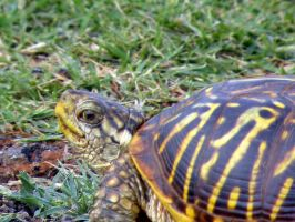 Ornate Box Turtle by SuicideBySafetyPin