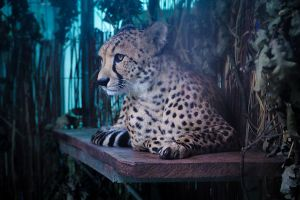147. cheetah by littleconfusion