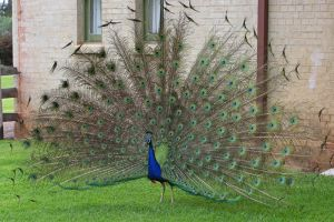Indian Peacock 2 by chezem