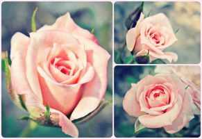 Soft Rose Collage by sdmoon