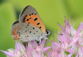 American Copper butterfly by Laur720