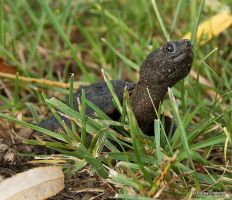 Baby snapping turtle by ThunderhillPaints
