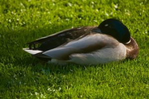 Canard 10 by Jules171