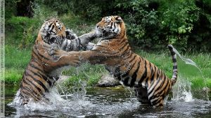 Siberian Tiger (015) - play fighting sisters by Sikaris