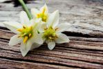 Spring in White by SheilaBrinson