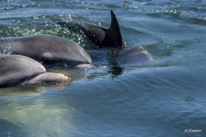 Port River Dolphin's 2 by Bluebuterfly72