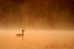 Blazing grebe by Fresnay