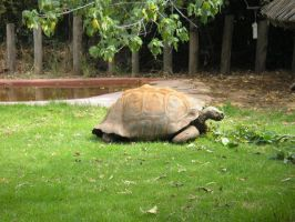 Perth Zoo Tortise by TasermonsPartner