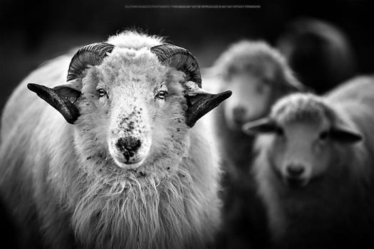 Sheeps by DREAMCA7CHER