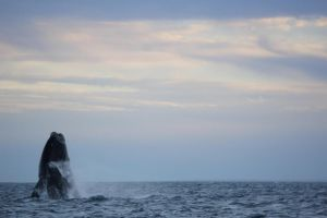 Southern Right Whale - Breaching in Patagonia by ChopShopStuK
