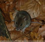 wild baby mouse 2 by KIARAsART