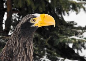 Steller's Sea Eagle Portrait I by OrangeRoom