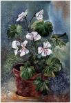white pelargonium by kosharik69
