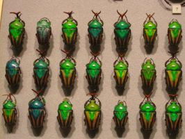Scarab Beetles by PhotoStox