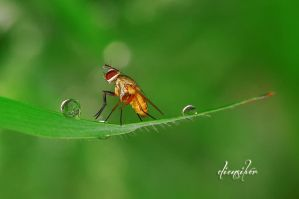 Fly and dews by diensilver