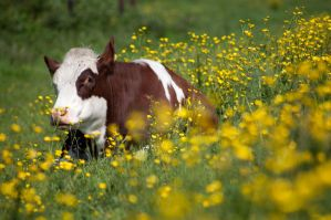 Buttercups by SarahharaS1