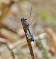Dassia dragonfly August 2014 8 3 by melrissbrook