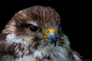 Portrait of a Falcon by kuschelirmel