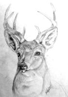 Whitetail Buck Portrait by FeraCoyote