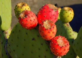 "Cactus ""pears"". by smfoley"