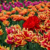 13-05 tulip field #5 by evionn