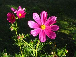 Pink cosmos by Santian69