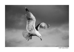 Gull in Black and White by grugster