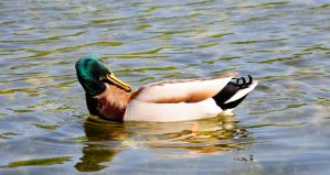 Duck IV by Vargson
