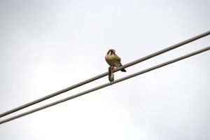 Bird on Wire: American Kestrel with Mouse Kill by Shadow848327