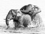 Bull elephants playing in the water by Jamie-MacArthur