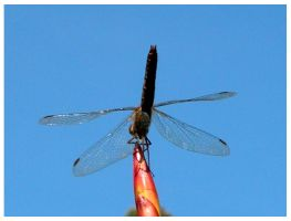 another dragonfly by tomegatherion