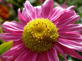Aster 684 by Halla51