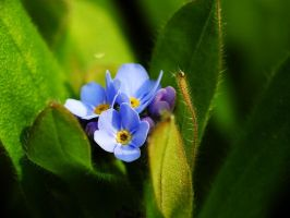 Forgetmenot by Elvira1990
