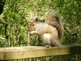Squirrel at Hardwick by Breezypants