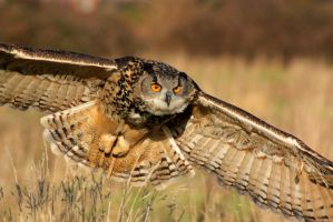 Eagle owl in flight by AngiWallace