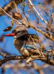 Brown-hooded kingfisher by PhilippeduPreez