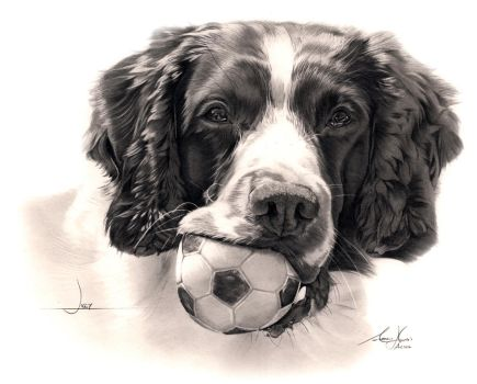 Commission - Springer Spaniel 'Jiggy' by Captured-In-Pencil