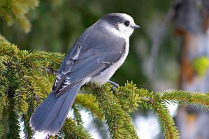 Grey Jay by borbor